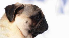 cachorro braquicefálico