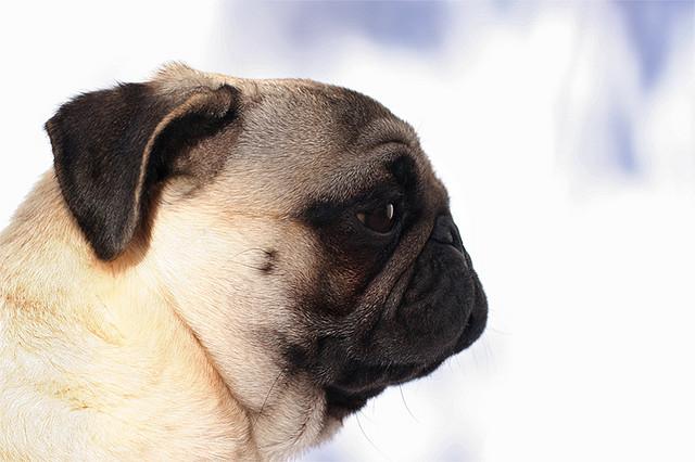 Cães braquicef&#2...