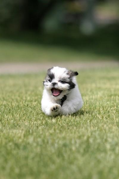 Shih Tzu correndo na grama