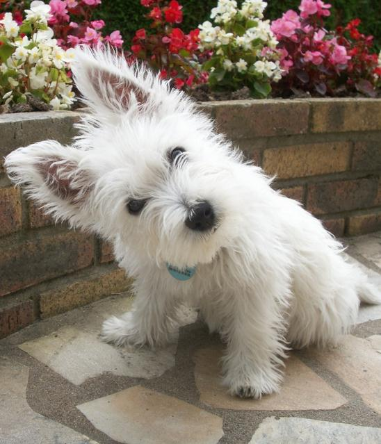 West Highland White Terrier Dog Rescue