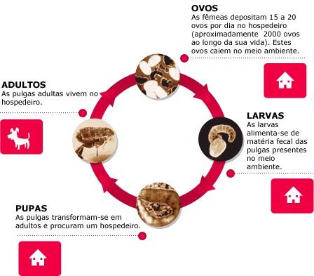 Ciclo de vida da pulga