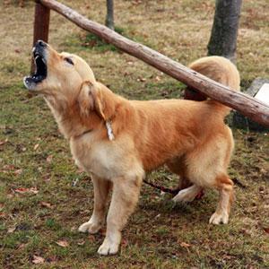 cachorro latindo