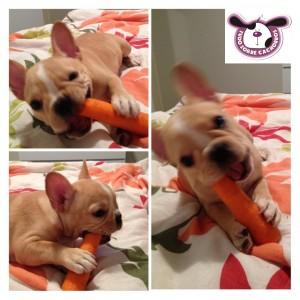 pandora comendo cenoura