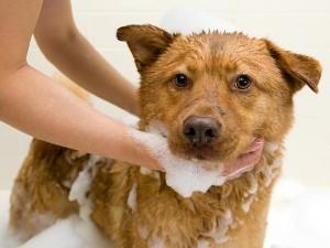 como dar banho no cachorro