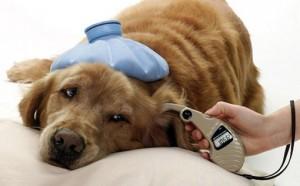 diabetes cachorro