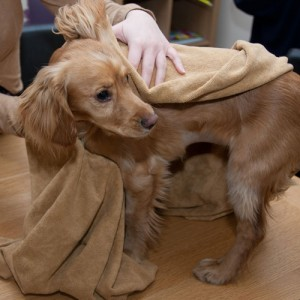 como secar o cachorro