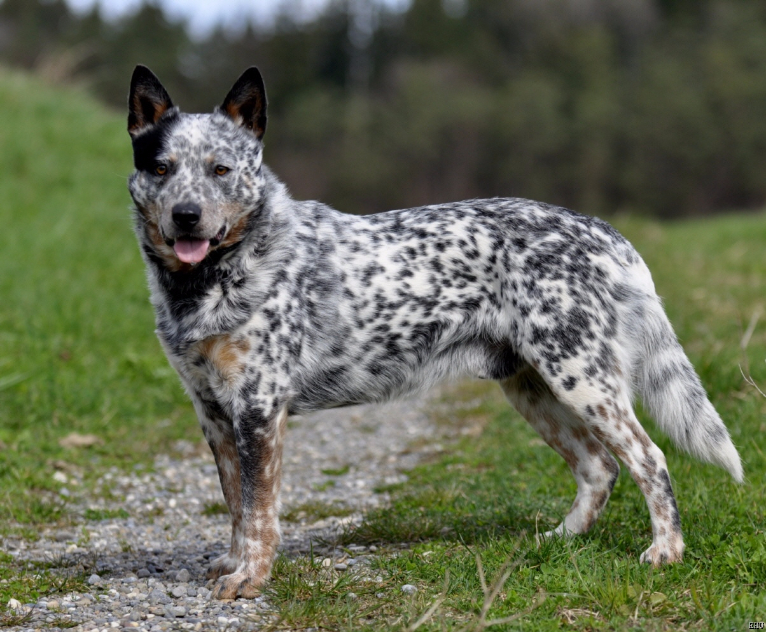 Australian Cattle Dog Puppies Red Heeler Named Jax Pettit