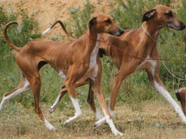 Azawakh cachorro