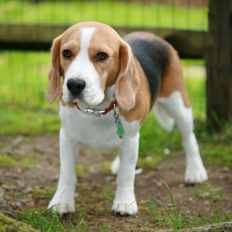 Do Beagle Dogs Like Cats