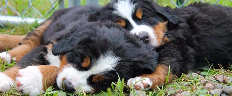 Husky Good Family Dog