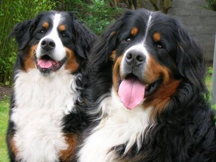 Bernese Mountain Dogs For Sale Reno Nv
