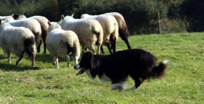 Herding Dog Training In Junction City Oregon