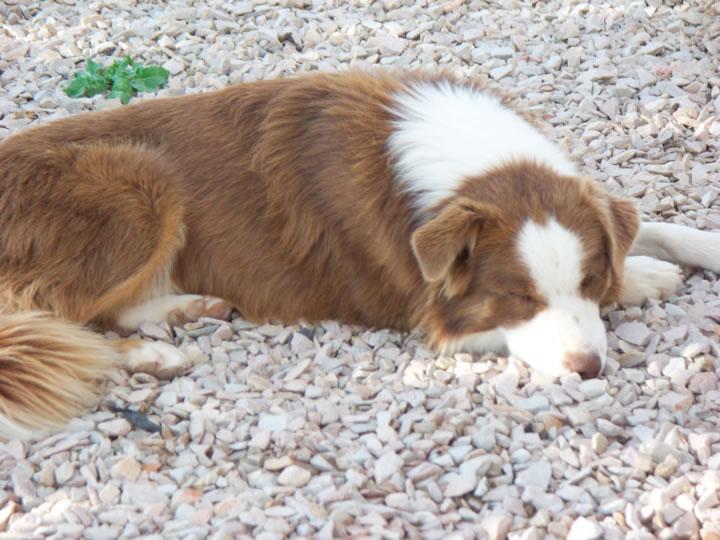 Border Collie Cattle Dog Training
