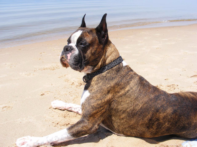 Pictures Of Boxer Dogs With Cropped Ears