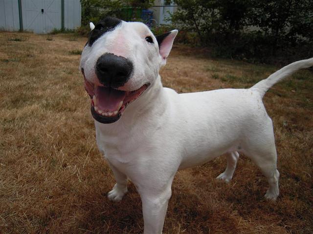 Tudo Sobre A Ra 231 A Bull Terrier Tudo Sobre Cachorros