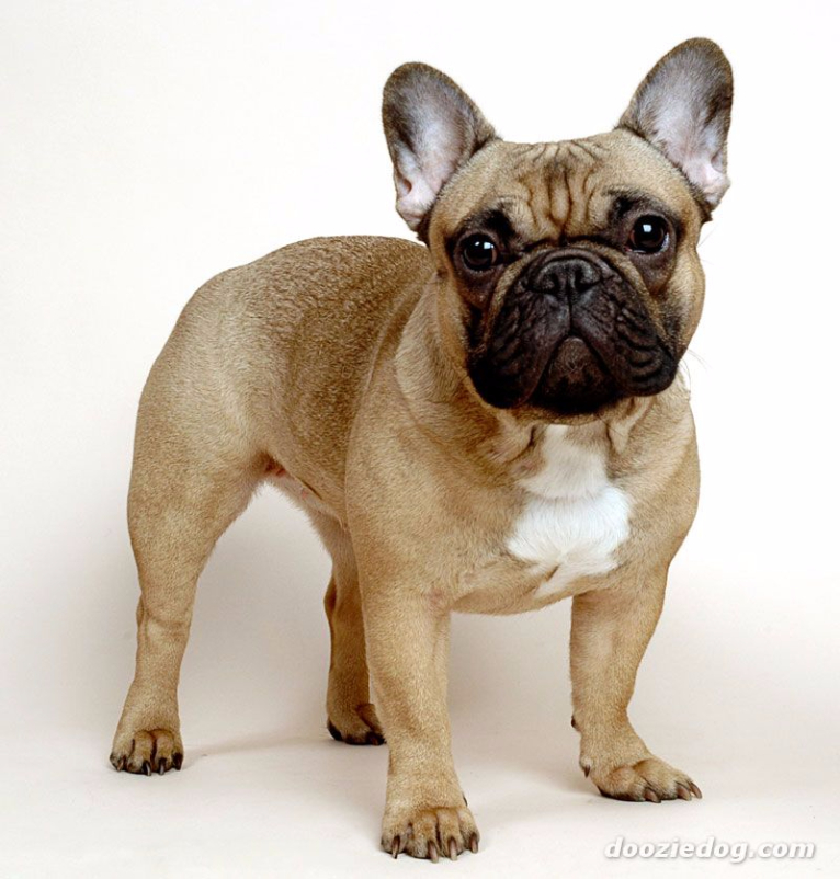 Tudo sobre a ra a bulldog franc s tudo sobre cachorros - Bulldog frances gratis madrid ...