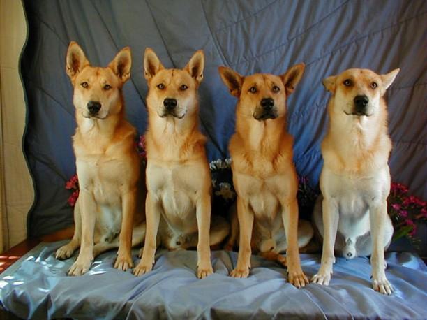 Dingo Americano
