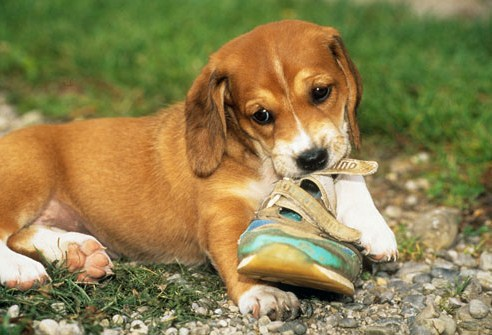Small Dog Ate Foam Ear Plug