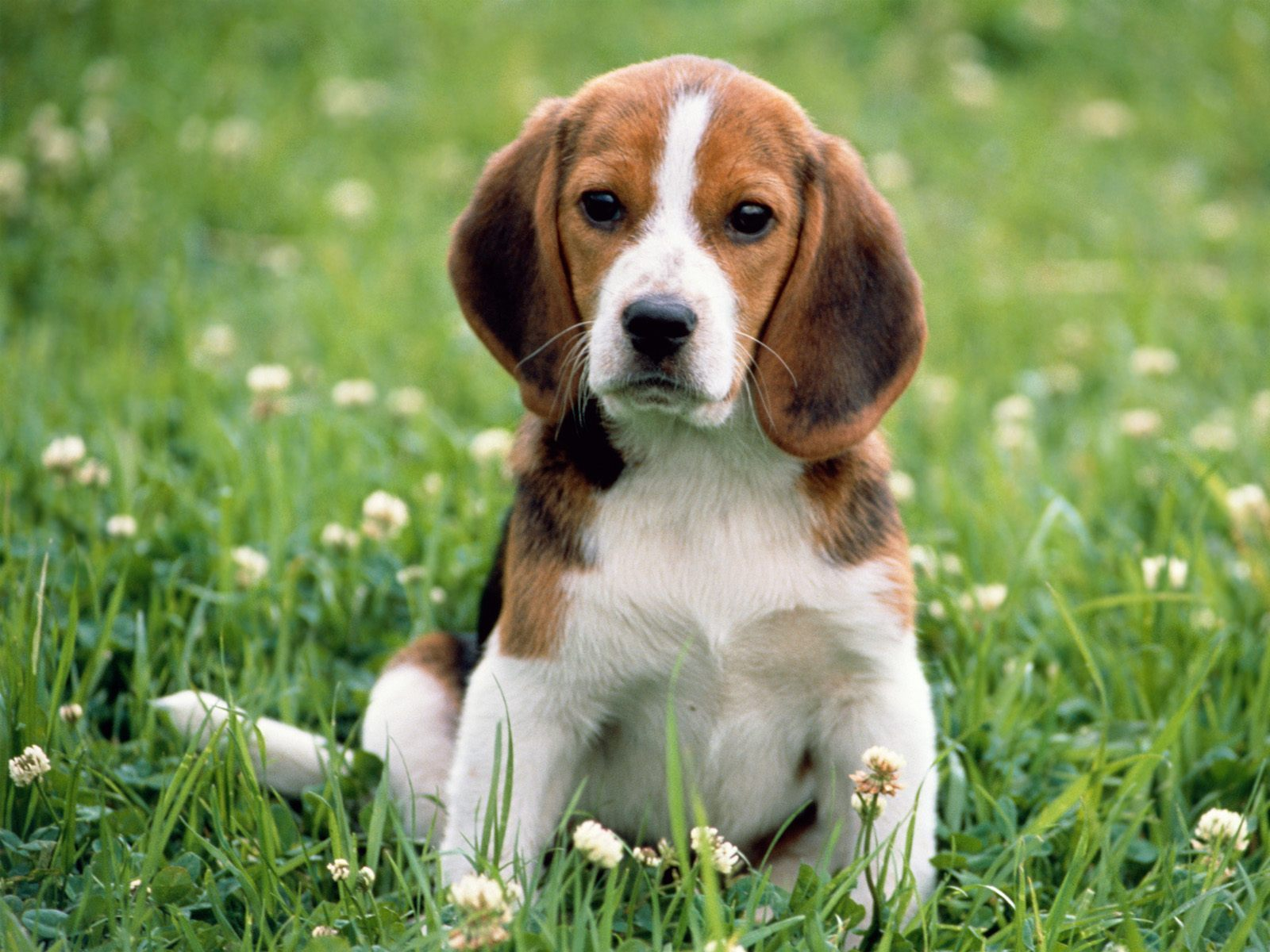 beagle racas doceis