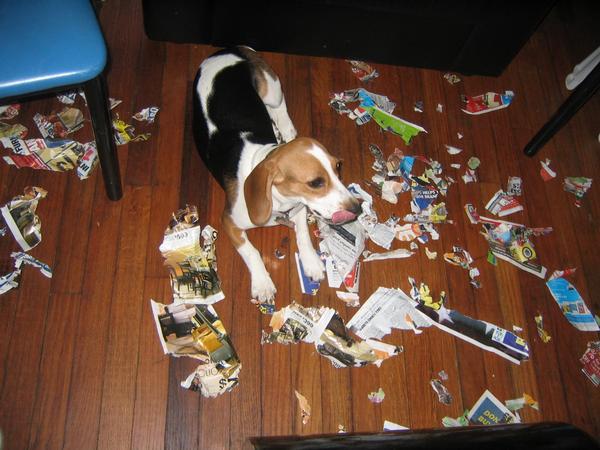 beagle roi muito destruidor