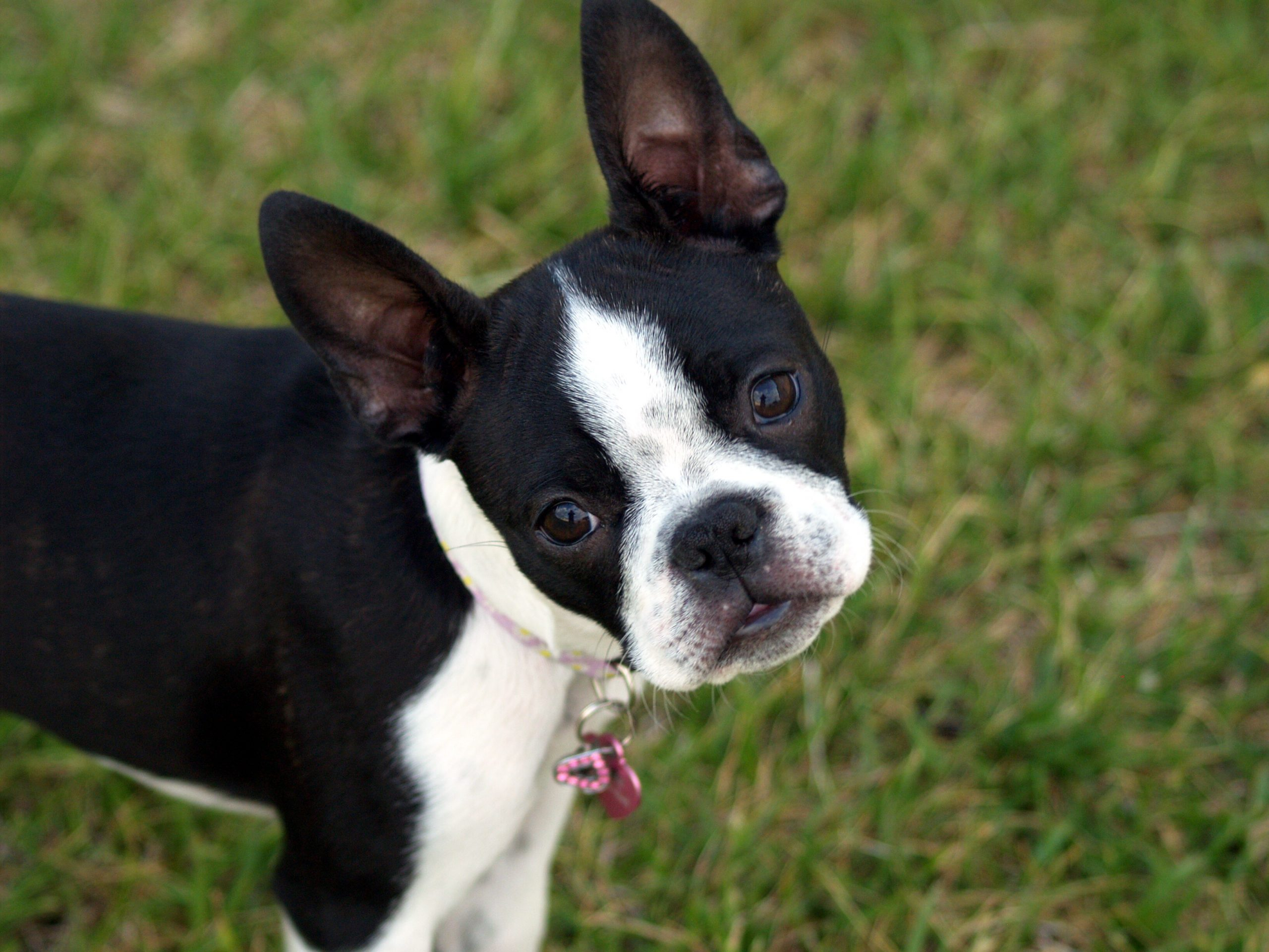 Difference between Boston Terriers & Pugs