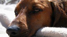 botulismo em cães