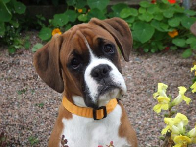 boxer racas doceis