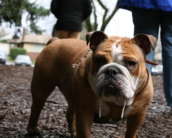 bulldog baba