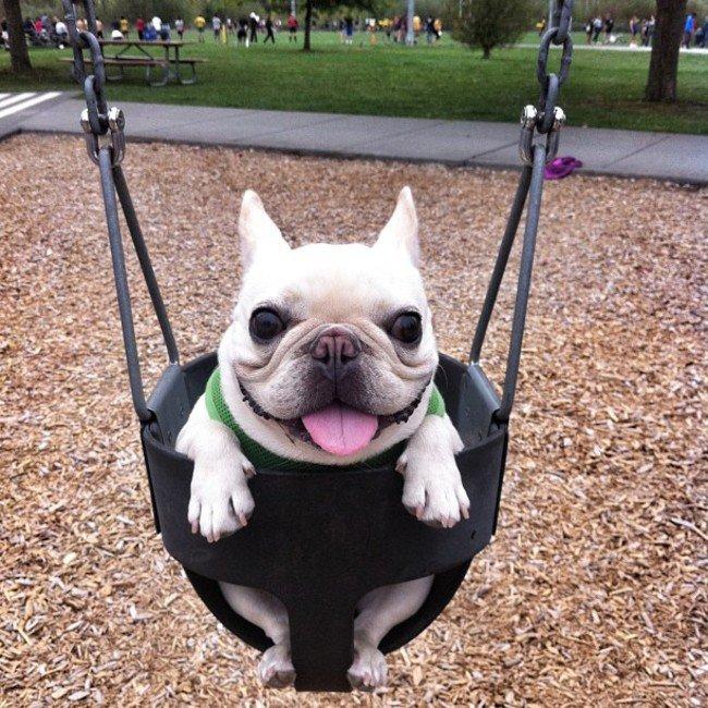 bulldog-balanco-cachorro