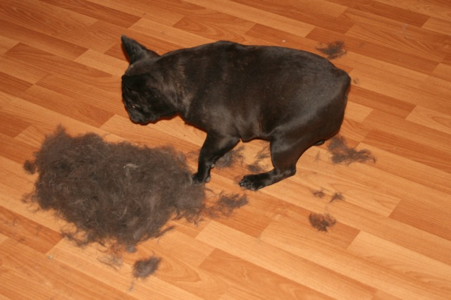 bulldog cai pelo