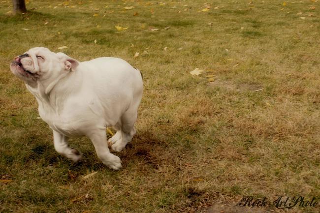 bulldog-correndo-feliz