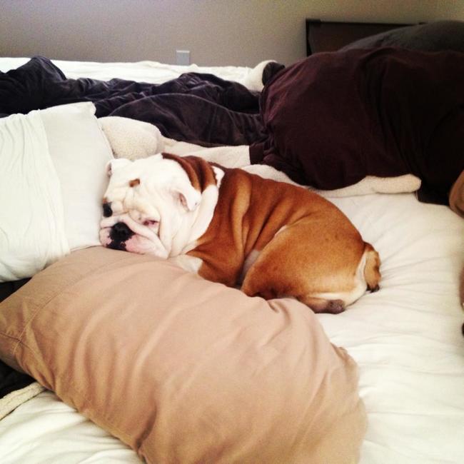 bulldog-dormindo-preguicoso