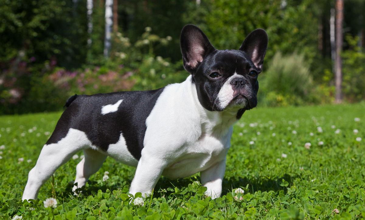 bulldog frances apartamento