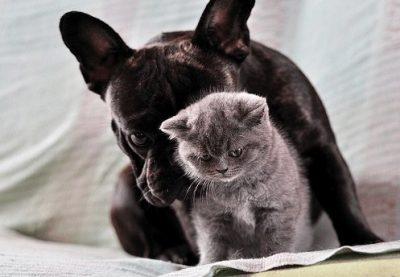 bulldog-frances-gato