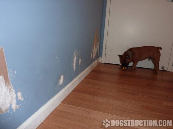 bulldog frances roi muito destruidor