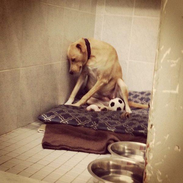 cachorra-triste-devolvida-ao-abrigo