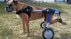cadeira de rodas cachorro