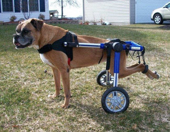 cachorro cadeira de rodas