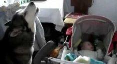 cachorro-canta-pra-bebe-parar-de-chorar