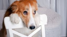 cachorro-culpado
