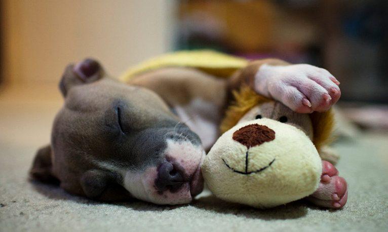 cachorro-dormindo