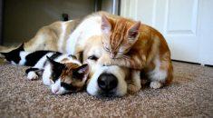 cachorro-dormindo-com-gatinhos