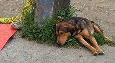 cachorro-fica-ao-lado-de-dono-atropelado