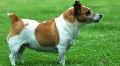 cachorro gordo obeso