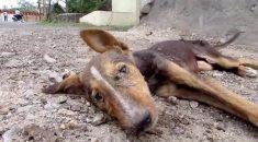 cachorro-irreconhecivel-apos-resgate