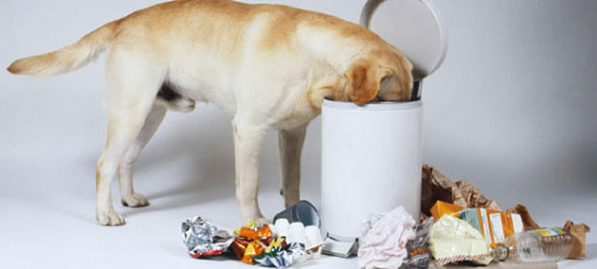 Porque o cachorro fuça o lixo