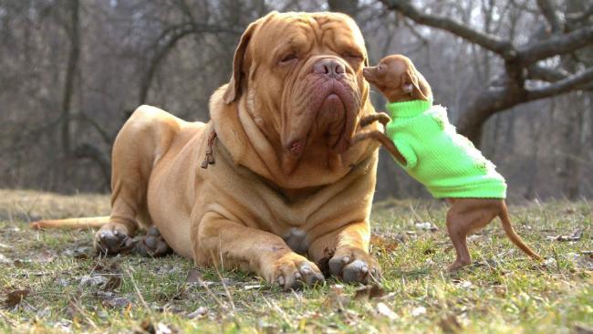 cachorro-pequeno-porte-2