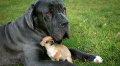 cachorro-pequeno-porte