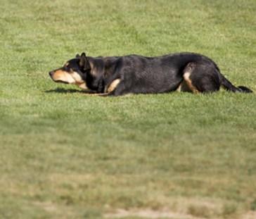 cachorro-submisso