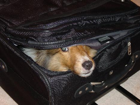 cachorro viagem 12